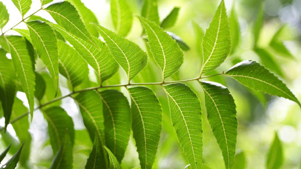 All About the Wonder Plant Neem